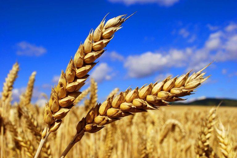 Аномальная жара в Литве может оставить страну без урожая зерновых культур в этом году