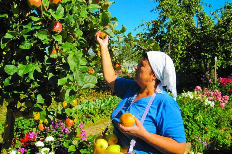 Первые украинские яблоки уже доступны к продаже